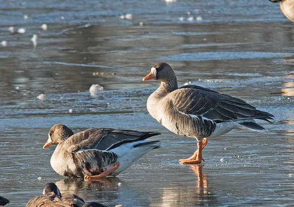 Greater While-fronted Goose 2018-2