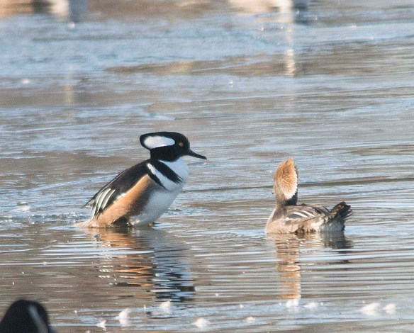 Hooded Merganser 2018-19