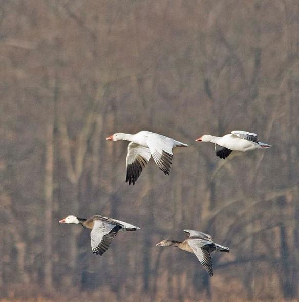 Snow Goose 2018-16