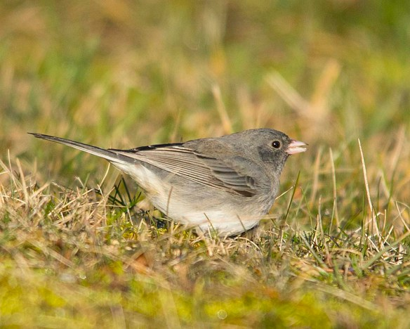 Dark Eyed Junco 2018-3