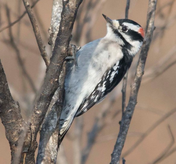Downy Woodpecker 2018-2