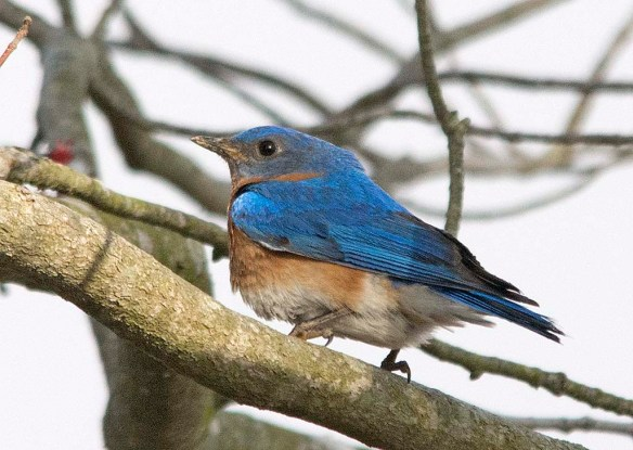 Eastern Bluebird 2018-3