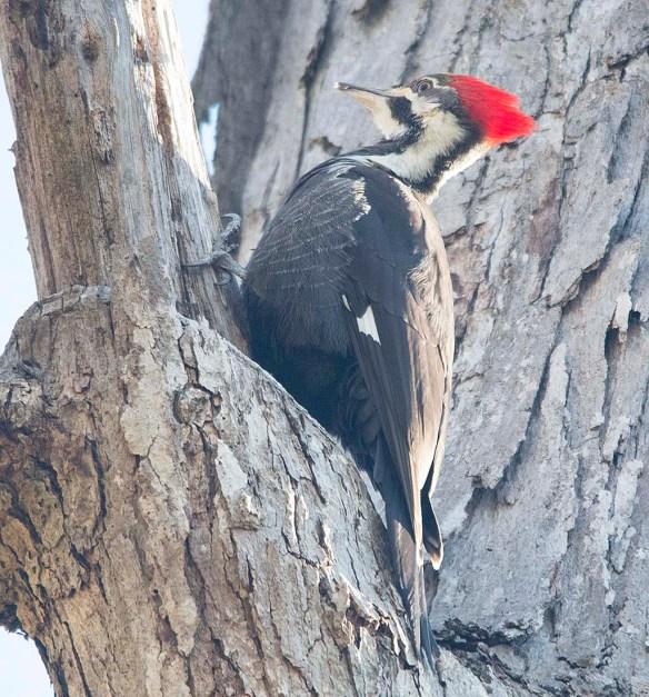 Pileated Woodpecker 2018-3