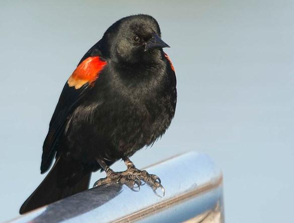 Red Winged Blackbird 2018-5