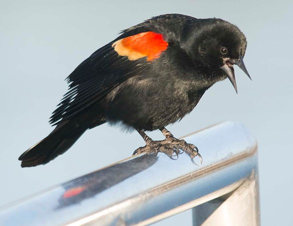 Red Winged Blackbird 2018-6