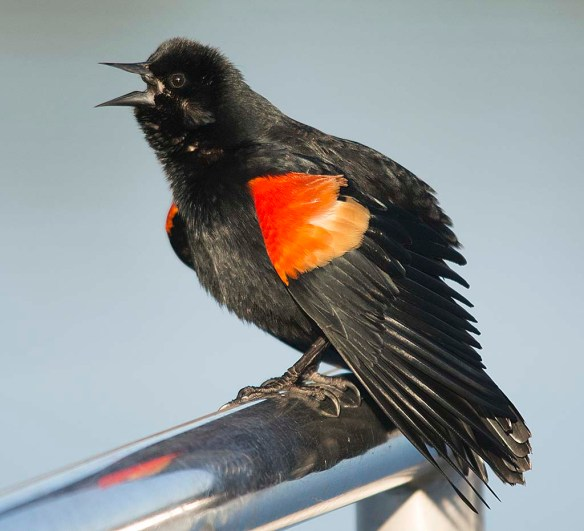 Red Winged Blackbird 2018-7