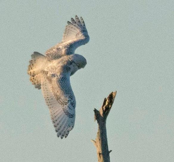 Snowy Owl 2018-4