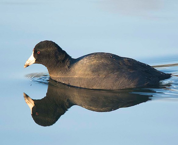 American Coot 2018-2