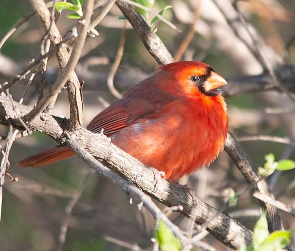 Cardinal 2018-3