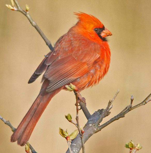 Cardinal 2018-6