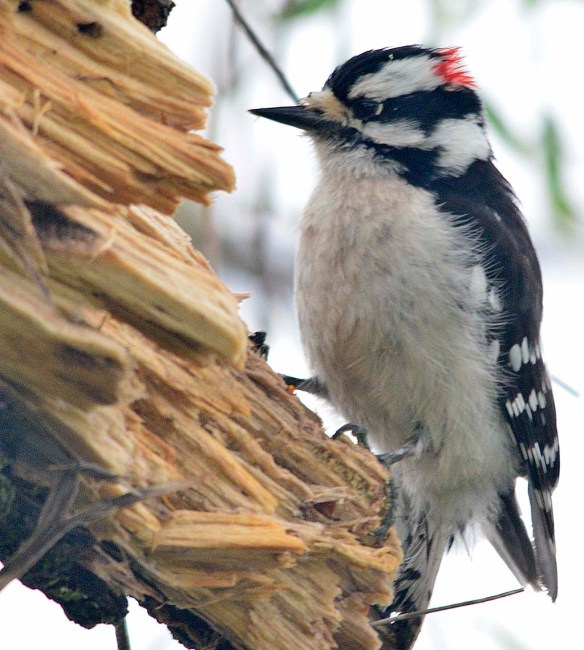 Downy Woodpecker 2018-5