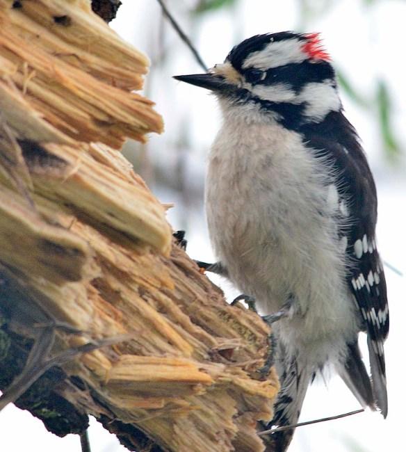 Downy Woodpecker 2018-5