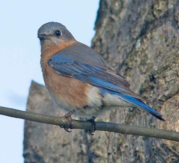Eastern Bluebird 2018-7