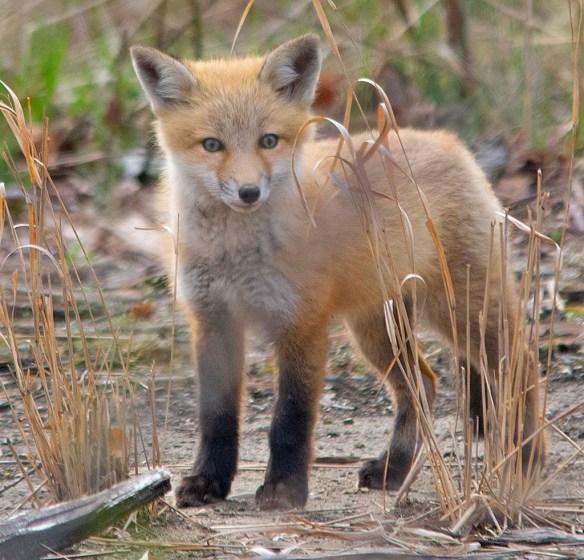 Fox 87