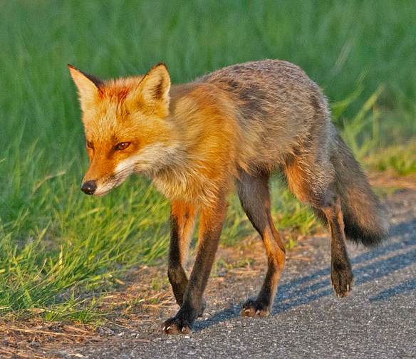 Fox 89