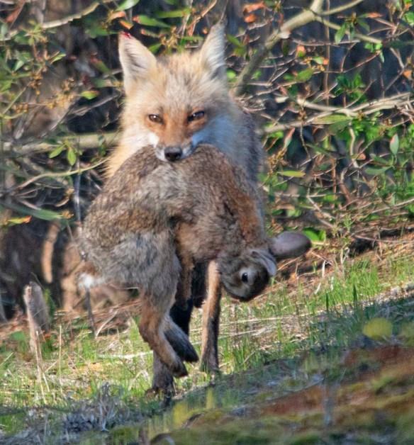 Fox 90
