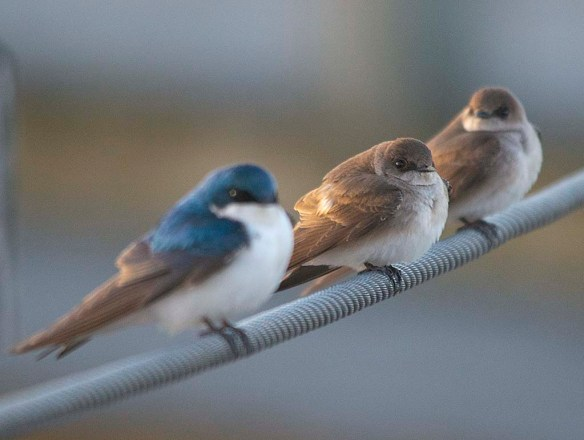 Northern Rough Winged Swallow 2018-3
