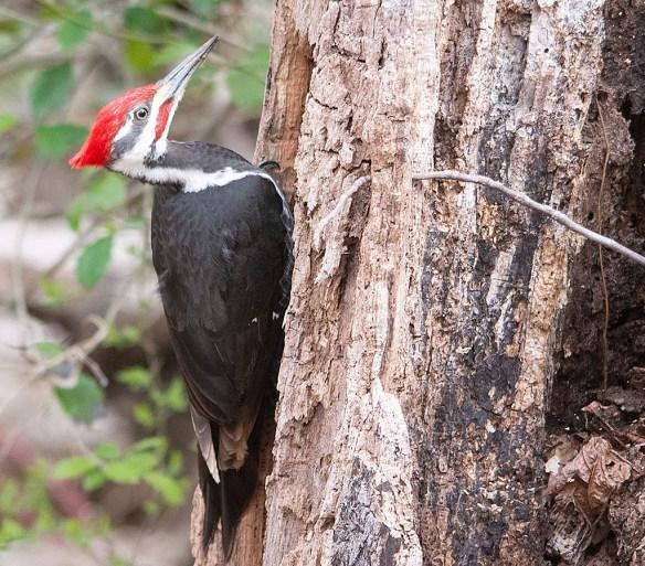 Pileated Woodpecker 2018-5
