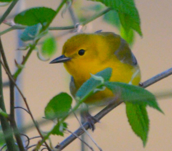 Prothonotary Warbler 2018-1