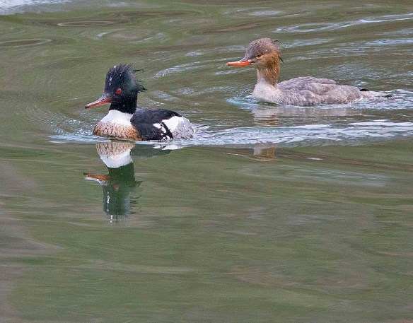 Red Breasted Merganser 2018-29