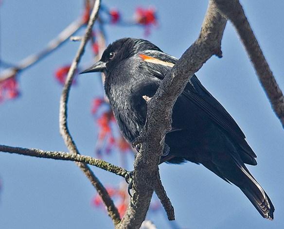 Red Winged Blackbird 2018-9