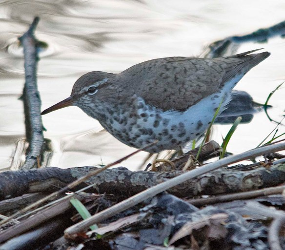 Spotted Sandpiper 2018-1