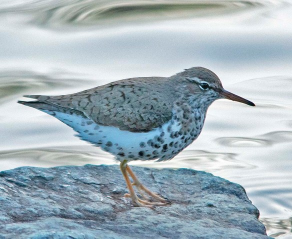 Spotted Sandpiper 2018-2