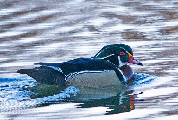 Wood Duck 2018-15