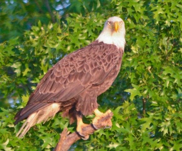 Bald Eagle 2018-36