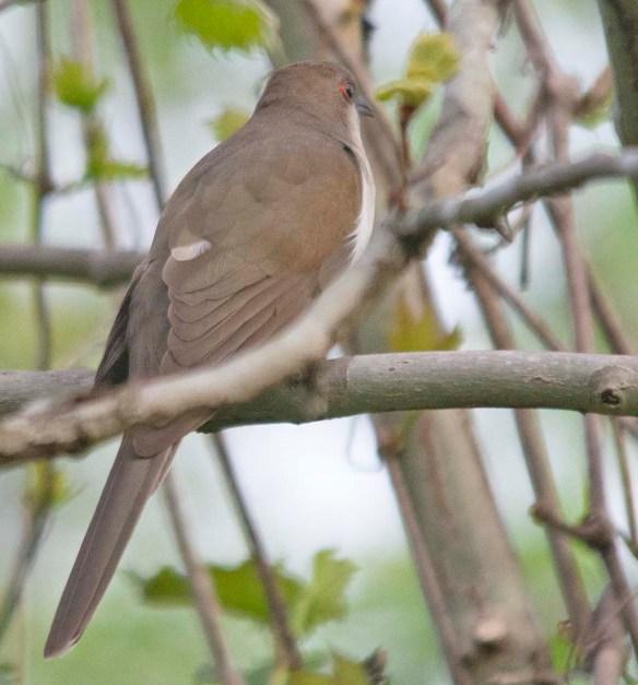 Black Billed Cuckoo 2018-1