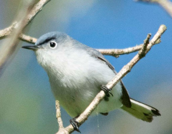 Blue Gray Gnatcatcher 2018-4