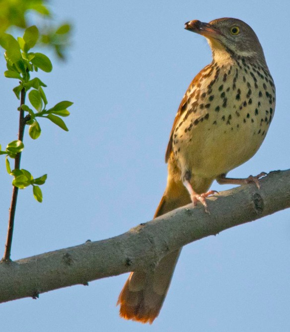 Brown Thrasher 2018-1