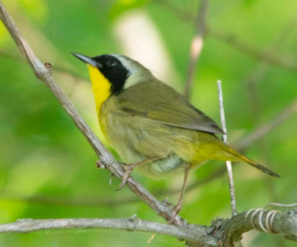 Common Yellowthroat 2018-1