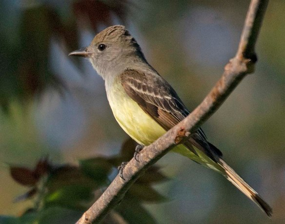 Great Crested Flycatcher 2018-1