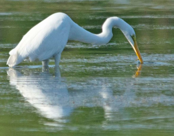 Great Egret 2018-9
