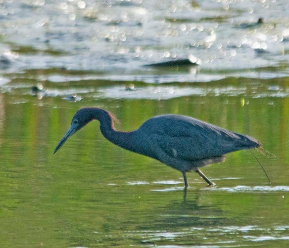 Little Blue Heron 2018-1