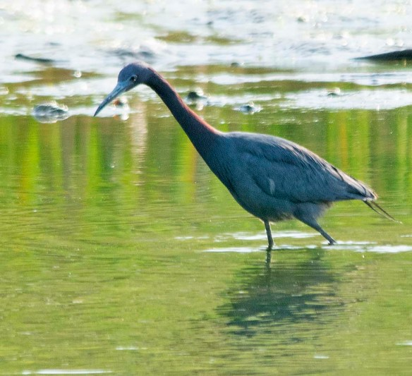 Little Blue Heron 2018-2