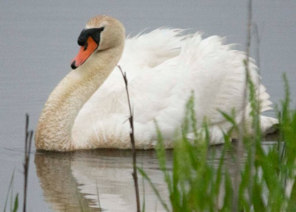 Mute Swan 2018-3