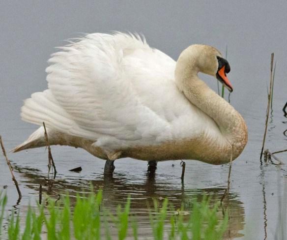 Mute Swan 2018-5