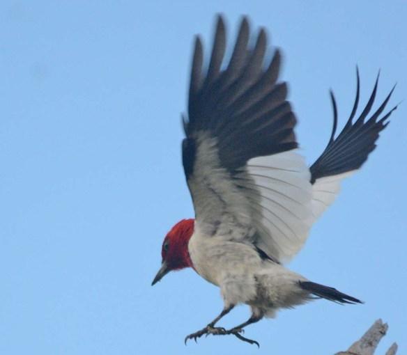 Red Headed Woodpecker 2018-5