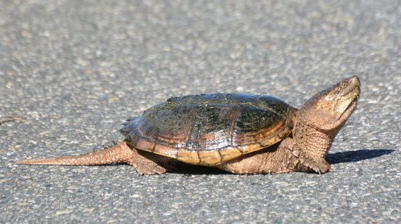 Snapping Turtle 29