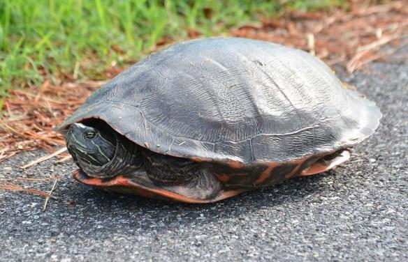 Turtle 79