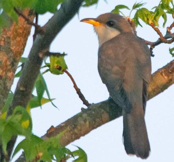 Yellow Billled Cuckoo 2018-1