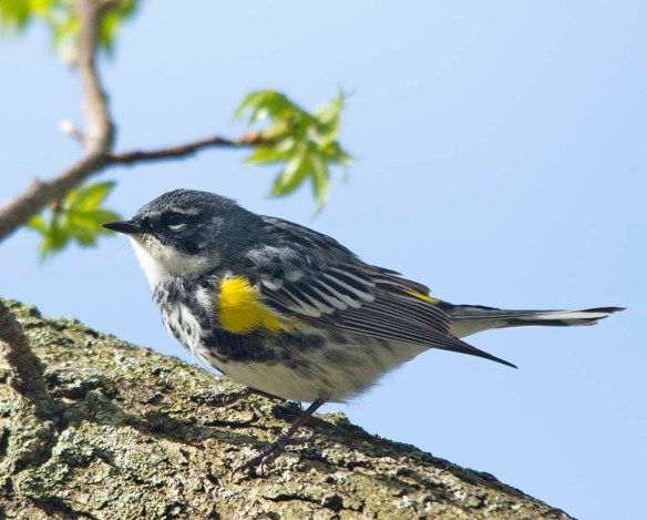 Yellow Rumped Warbler 2018-3