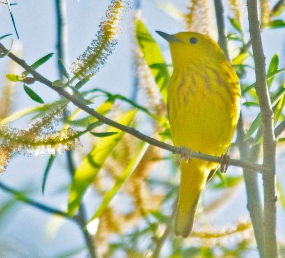 Yellow Warbler 2018-2