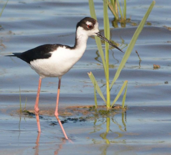 Black Necked Stilt 2018-13