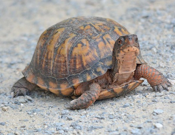 Eastern Box Turtle 7