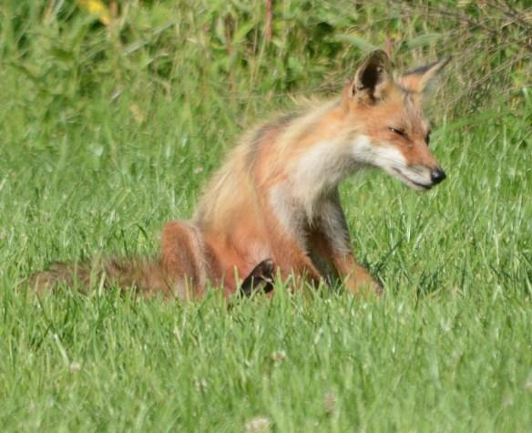 Fox 100