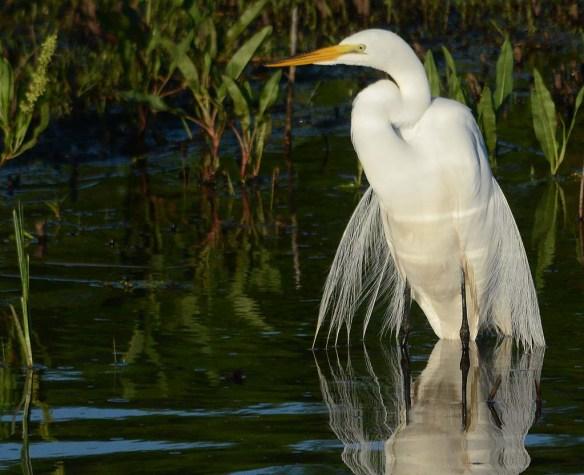 Great Egret 2018-15