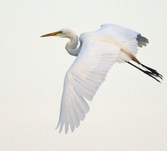 Great Egret 2018-29